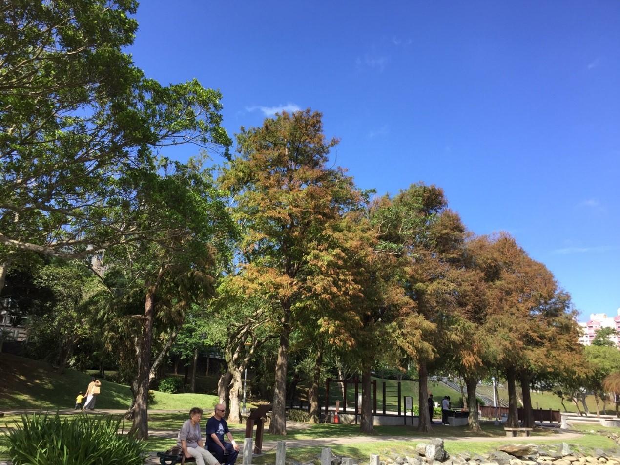 圖9、大湖公園落羽松華麗變色,吸引遊客駐足
