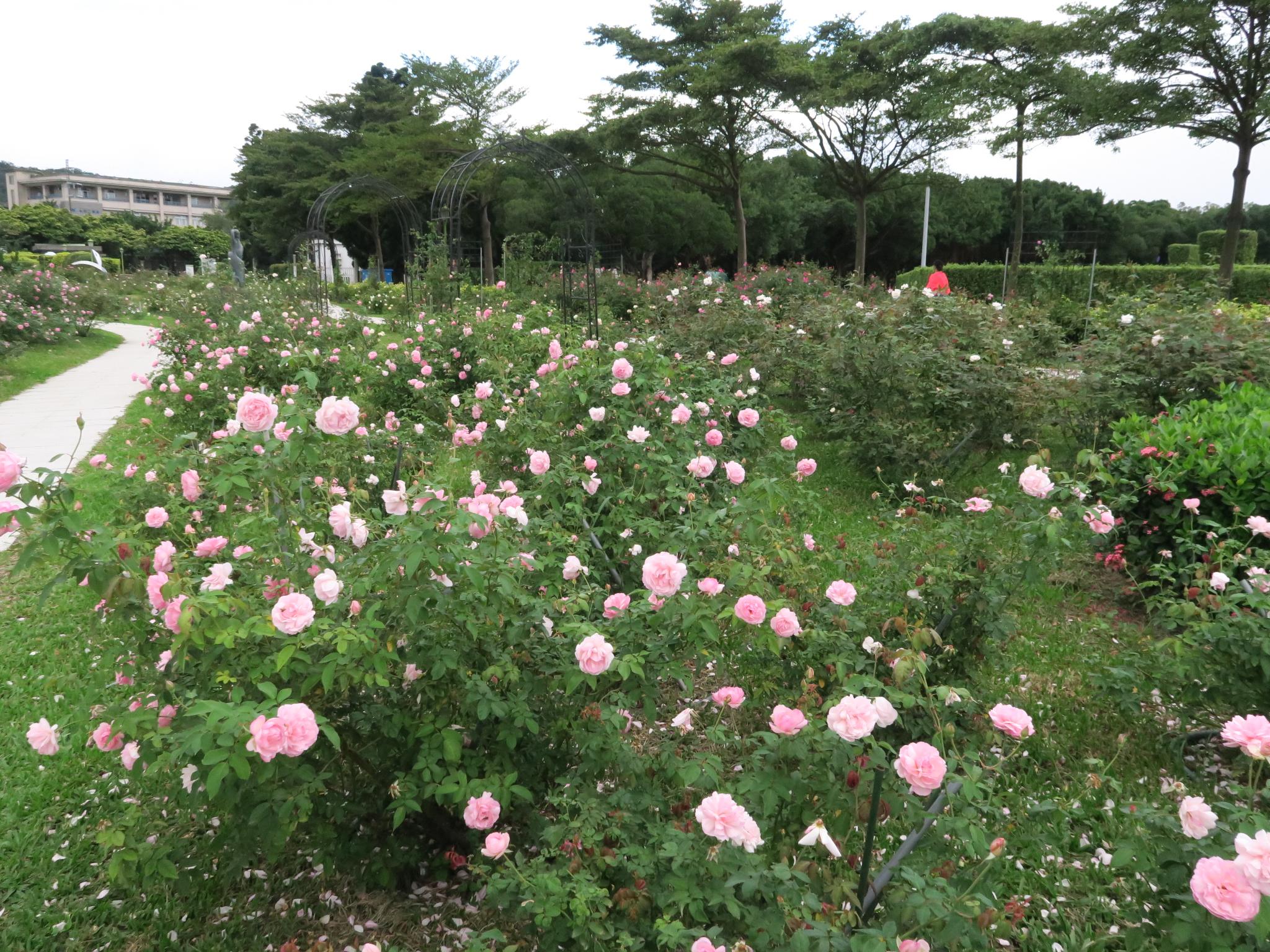 圖1.位於新生公園怡情園側的古典玫瑰園區