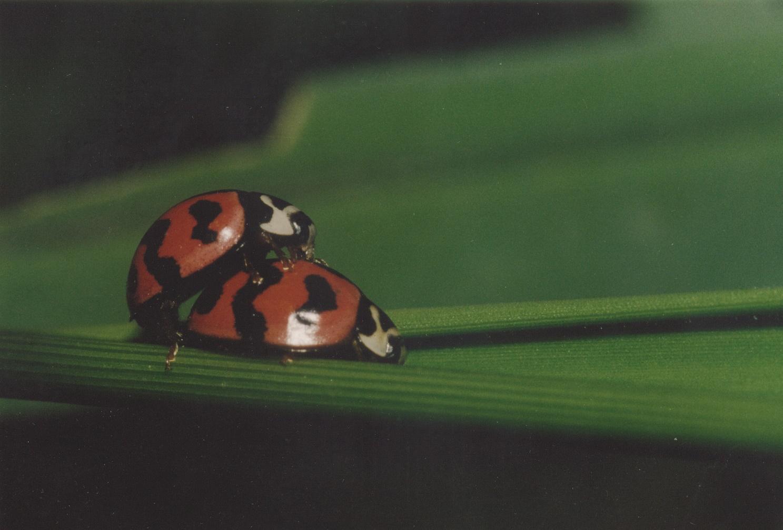 圖3.攝影作品-瓢蟲的交配。