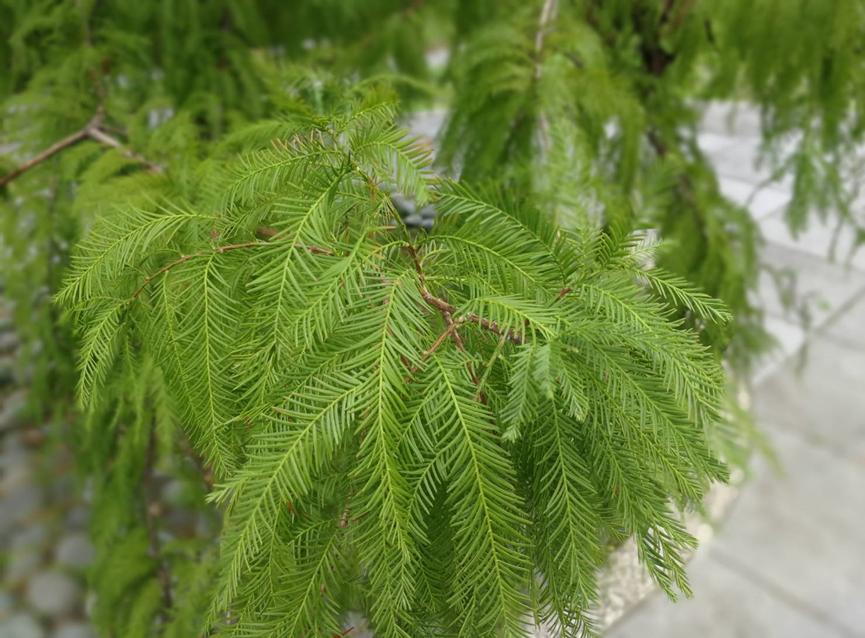 圖6、落羽松葉片狀似羽毛,又因其會在冬季落葉,故名之
