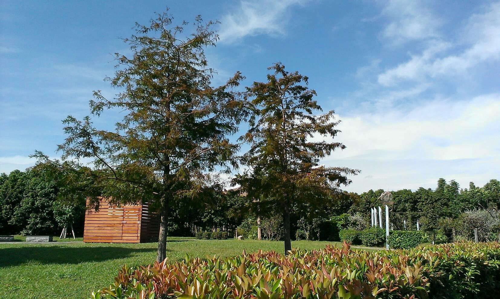 圖8、當冬季來臨時,落羽松便開始落葉,感受美好的冬日風情畫