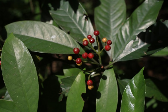 4.九節木,常見的大型灌木,枝條具有許多明顯的節而得名,果實成熟時紅色