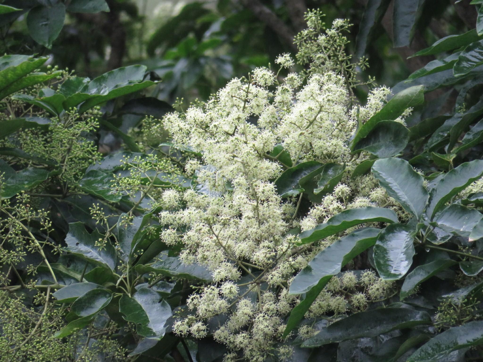 冬日重要的蜜源植物-江某