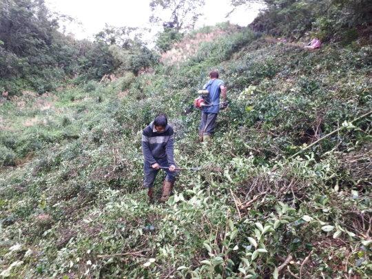 砍除現地茶樹及雜草之工作情形