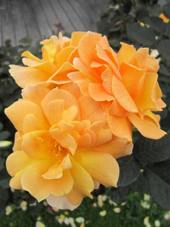 """圖3.黃花""""甜蜜香水""""玫瑰"""