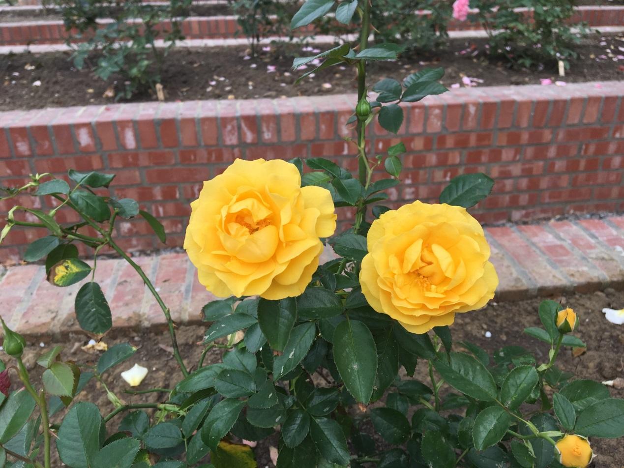 圖6. 圓瓣杯型黃色的「茱麗亞查爾斯」