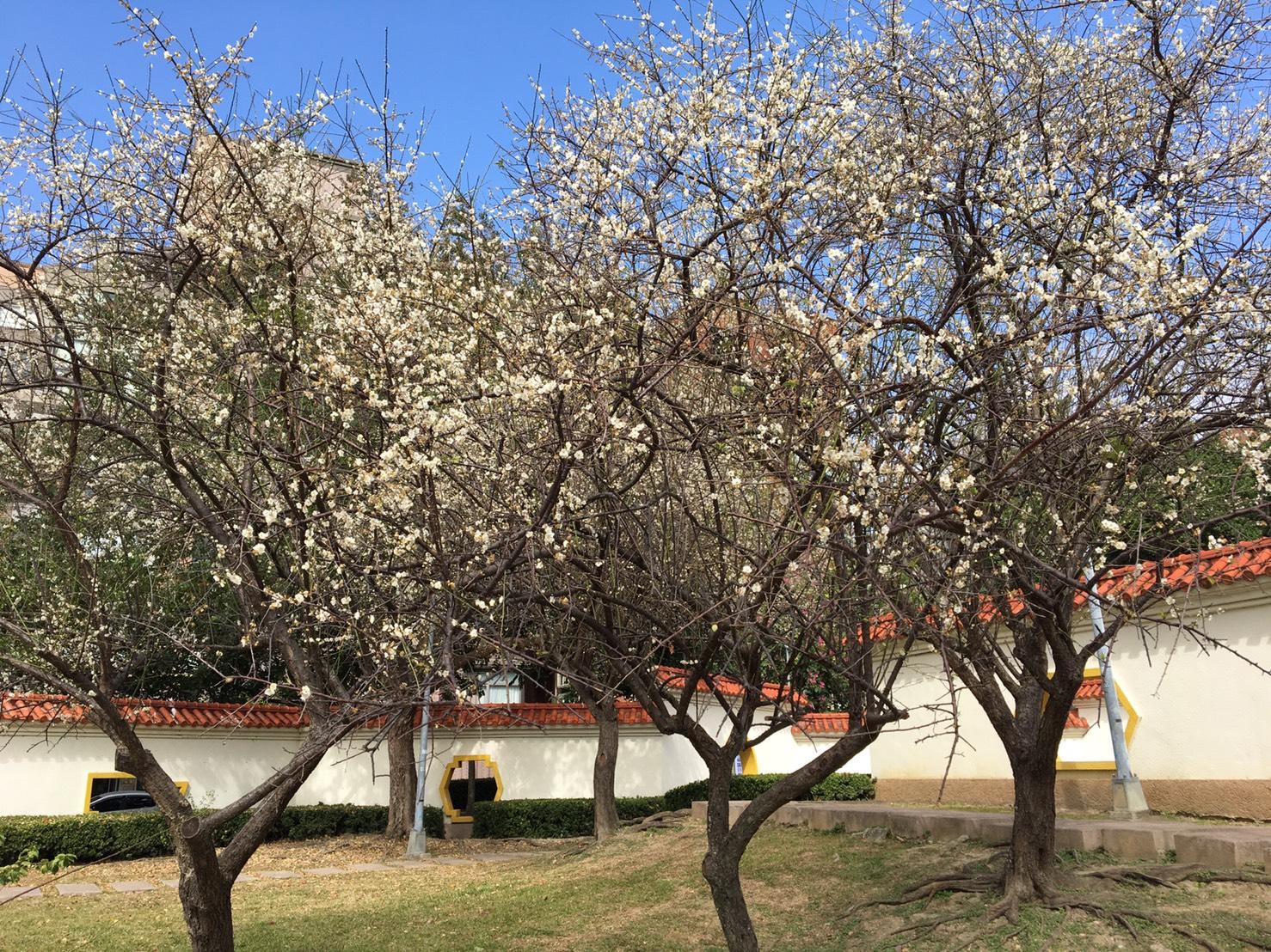 圖4.志成公園的梅花也迎著寒風靜靜地開出美麗的花朵