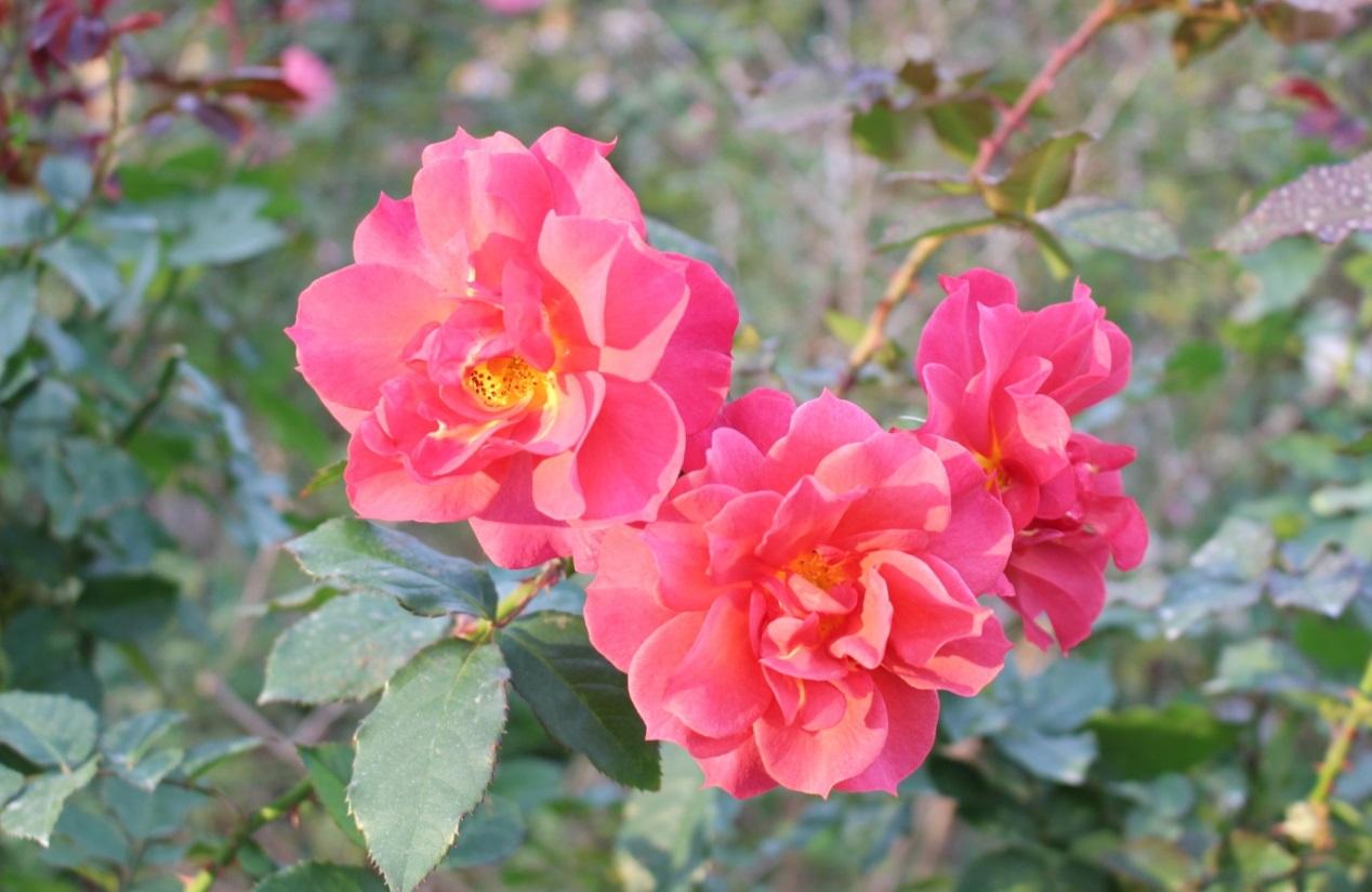 圖6、光輝五月五,現代豐花矮叢玫瑰;2006美國育出,橘黃、圓瓣波浪型、果香。