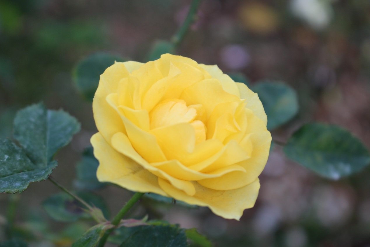 圖7、小新黃,現代迷你矮叢玫瑰;金黃強健、一莖多花、開花持久。