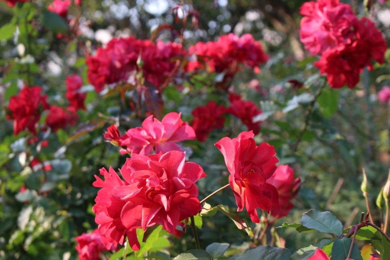 圖3、園內玫瑰姿態優美隨風搖曳,百看不厭。