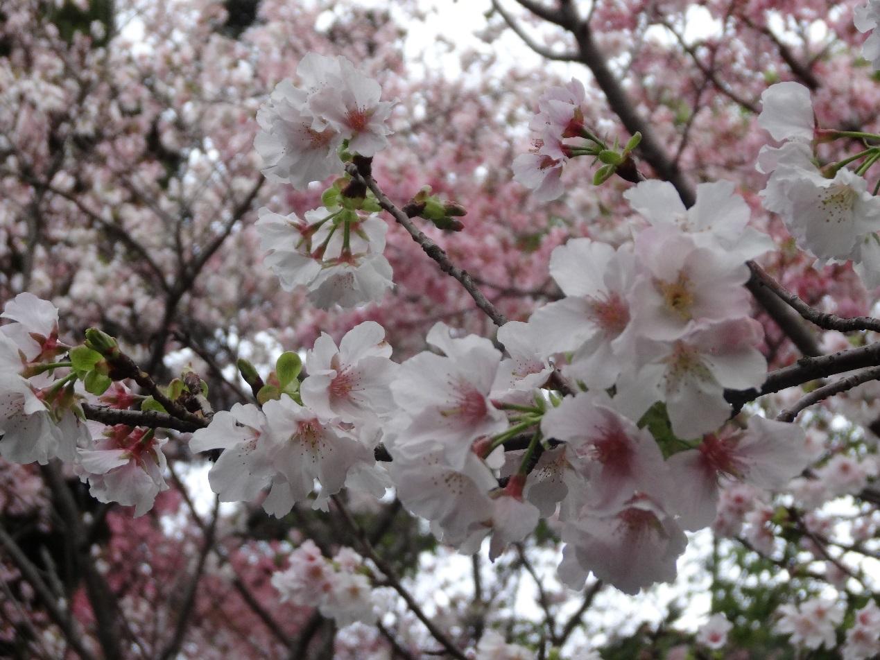 圖8預計3月底開放的吉野櫻(資料照片)