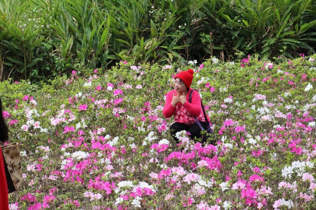 (圖3) 杜鵑花開成為市民拍攝及觀光景點