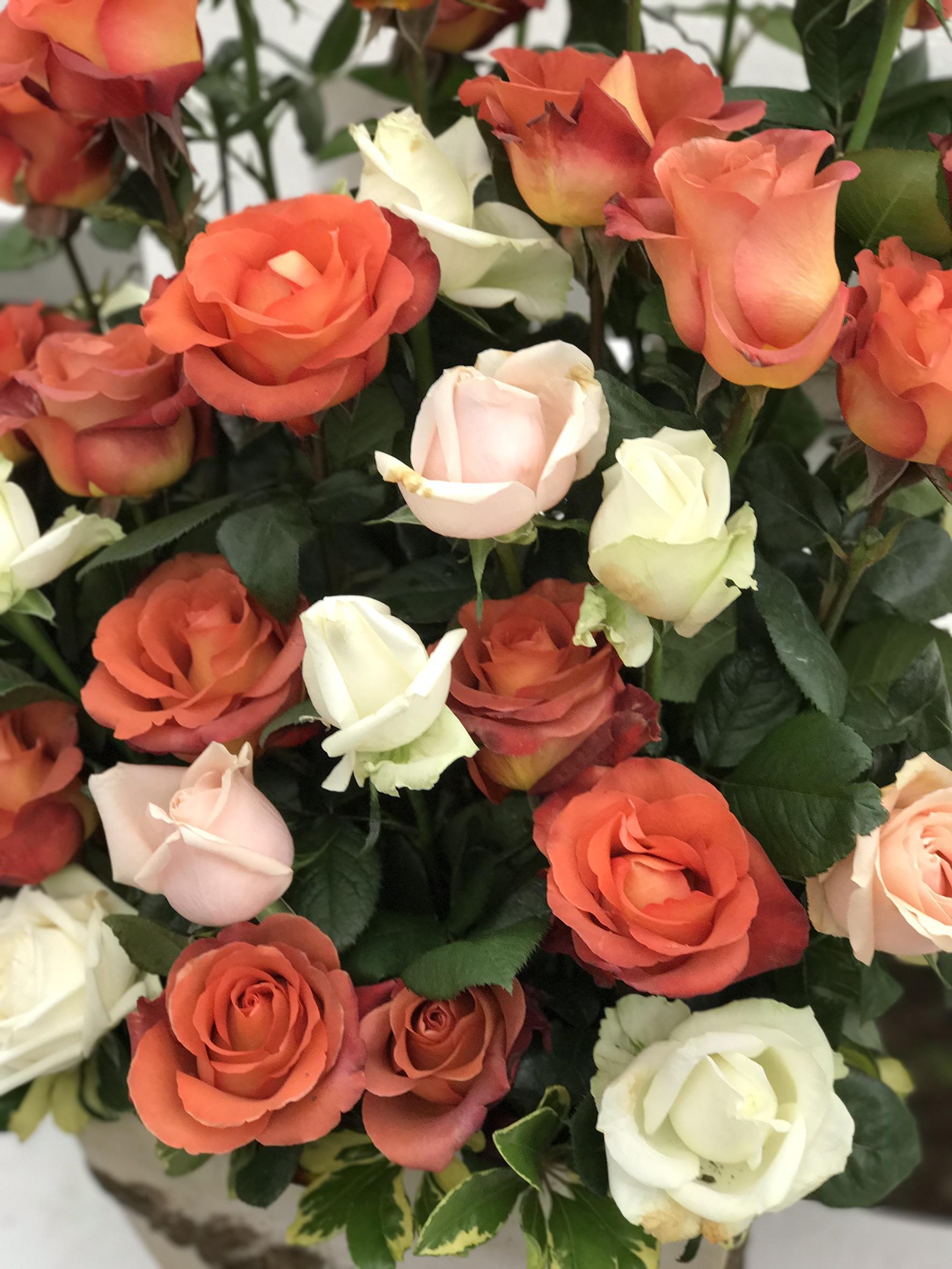 圖13.玫瑰花展