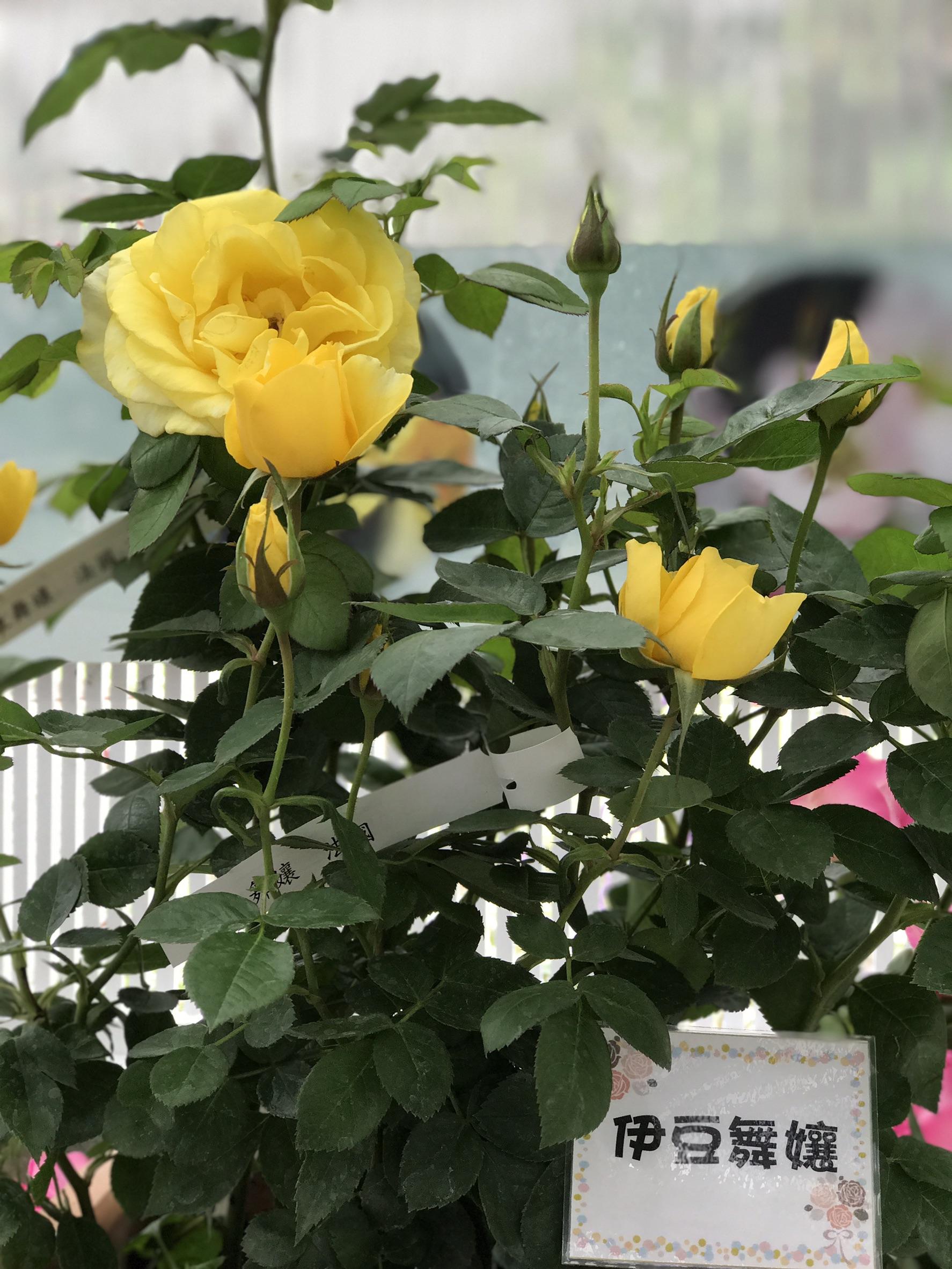 圖16.玫瑰花展