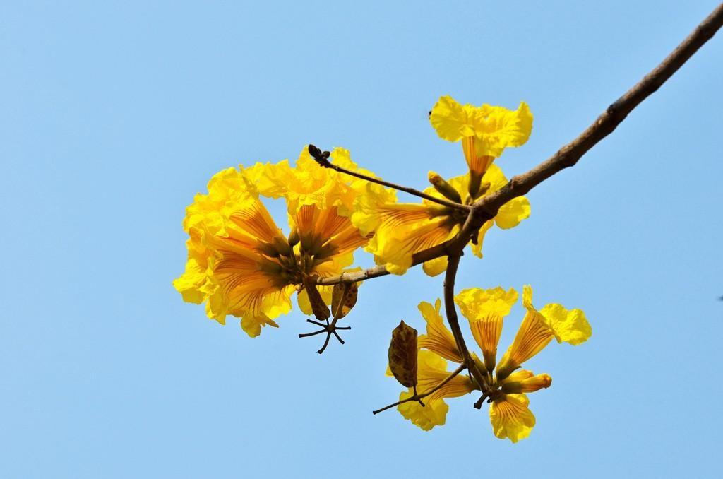 黃金風鈴木(示意圖)