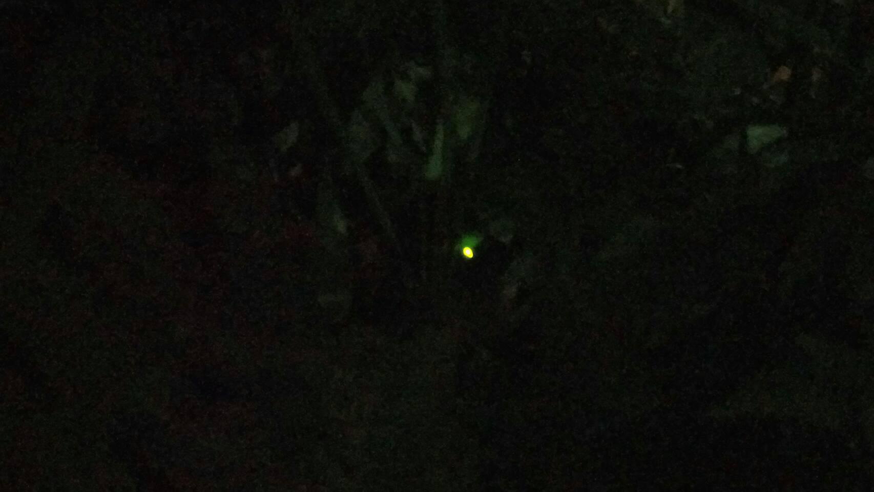 (圖8)夜間黃綠色閃爍的光芒,是黃緣螢特色