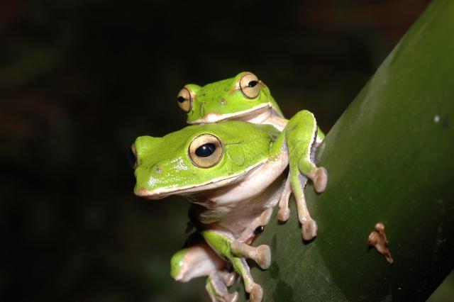 Photo 5: Emerald Tree Frog