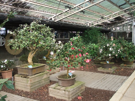 即將展出的茶花盆景