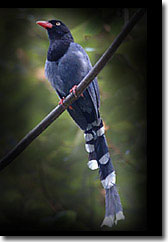 臺北市市鳥臺灣藍鵲