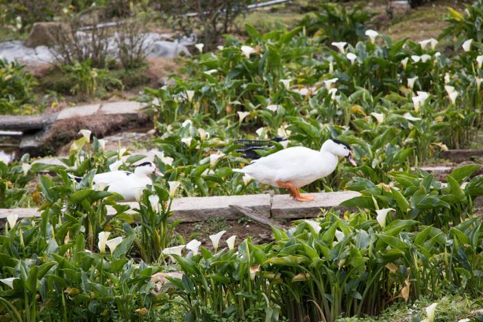 可愛的鴨子慢活在海芋田間
