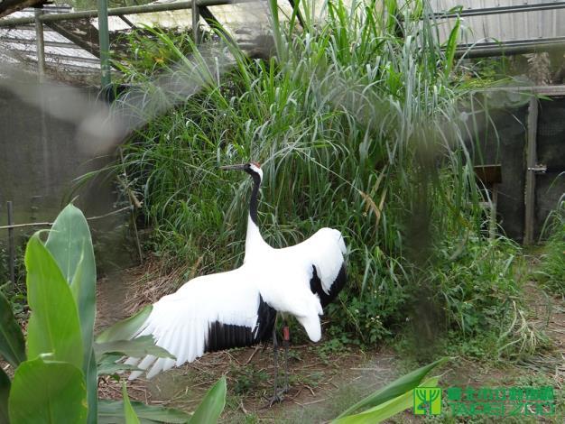 Kika鼓動雙翅準備繁殖-林惠珍