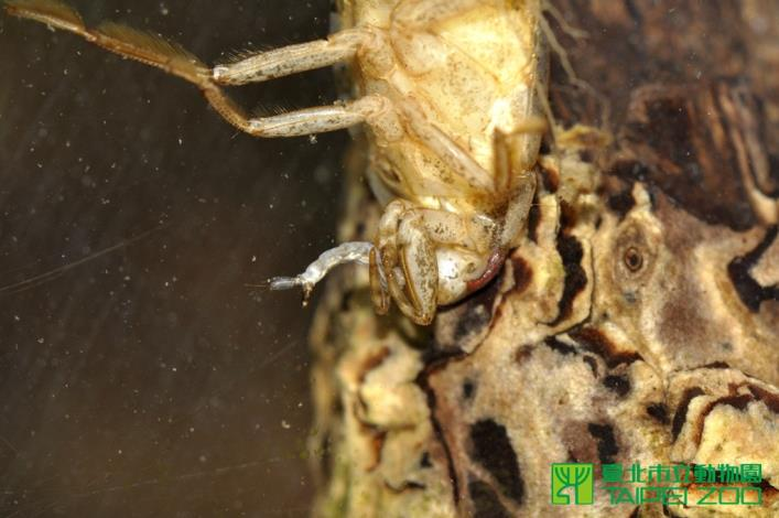 負子蟲的捕捉足是捕食孑孓的好工具