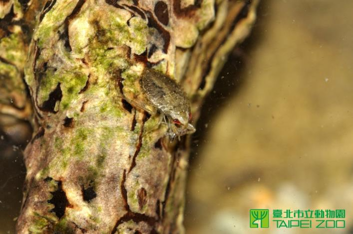 負子蟲若蟲雖然體型嬌小,但是捕捉孑孓很有一套