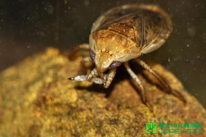 負子蟲捕捉到孑孓後會用刺吸式口器取食孑孓