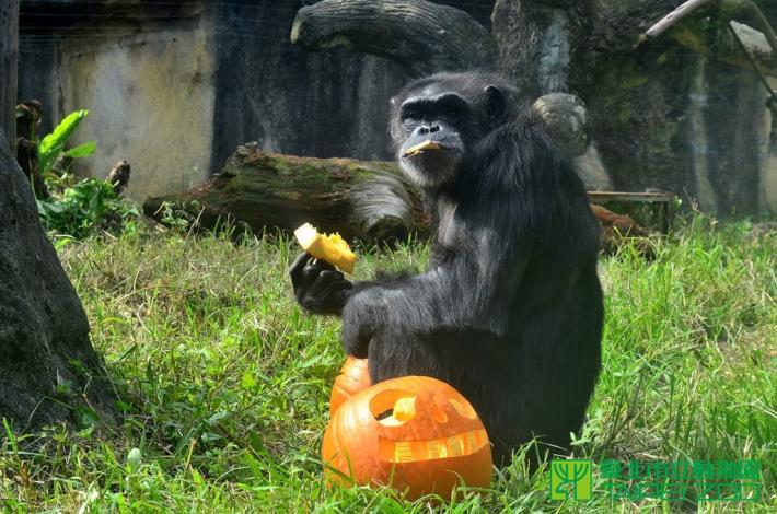 黑猩猩愛吃南瓜