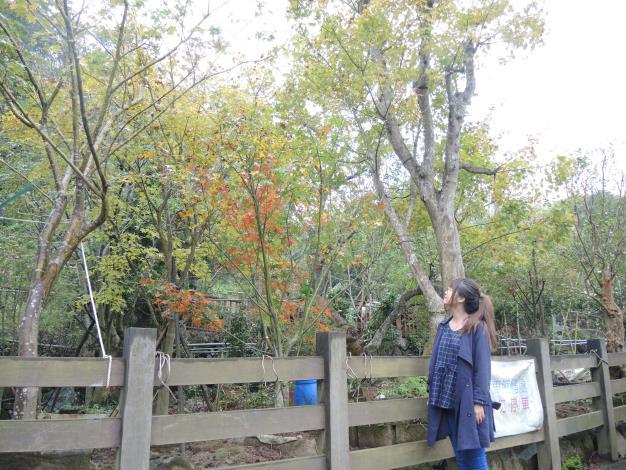 遊客停駐在楓樹下悠閒賞楓