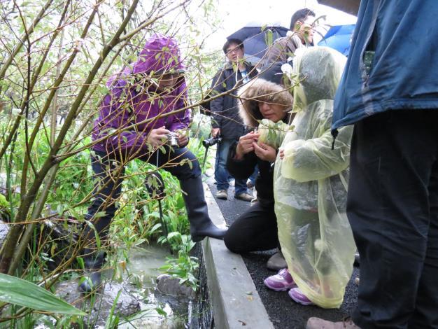 民眾在大安森林公園小生態池野放螢火蟲(大安森林公園攝)[開啟新連結]