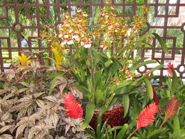 文心蘭盆花搭配觀賞鳳梨、海棠等植栽別有一番風味[另開新視窗]