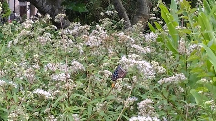 圖3.蜜源植物開花吸引蝴蝶前來[開啟新連結]