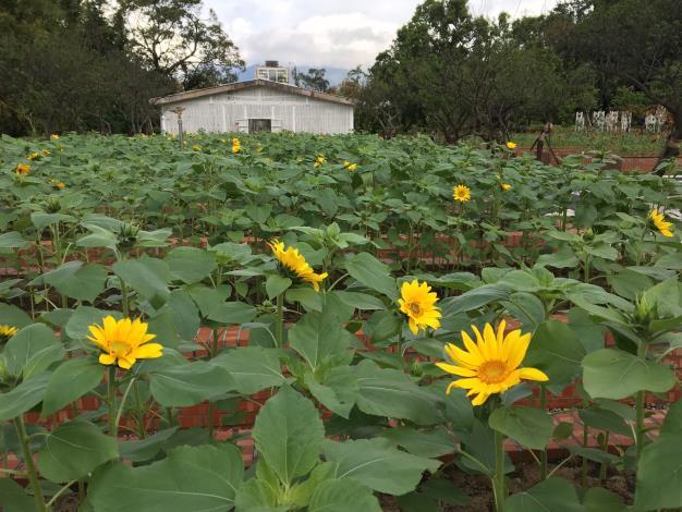 圖2、重新整修後的玫瑰園,配合菊展種2萬盆耀眼的向日葵