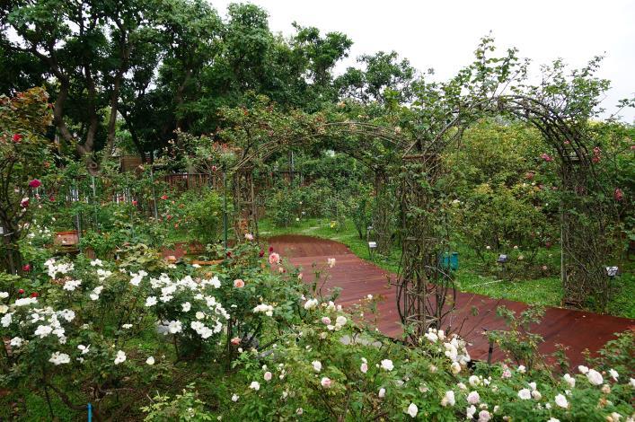 圖1、.臺北玫瑰園園內玫瑰重新修剪、木棧道亦全面汰舊換新。