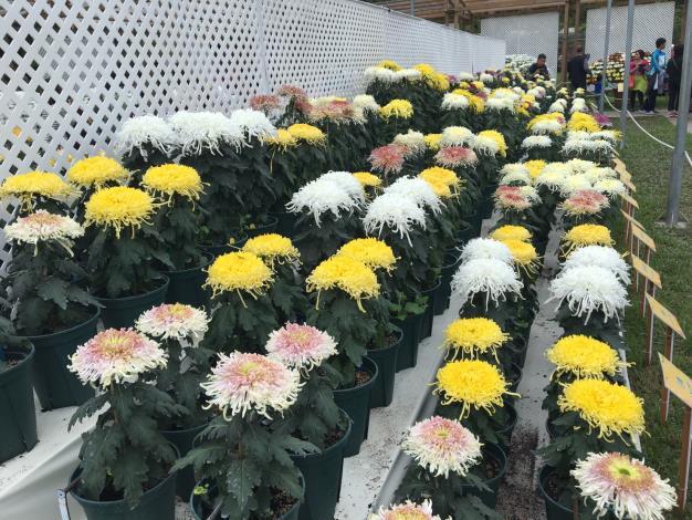 各色的盆菊