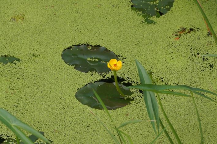 生態池內的臺灣特有種臺灣萍蓬草[另開新視窗]