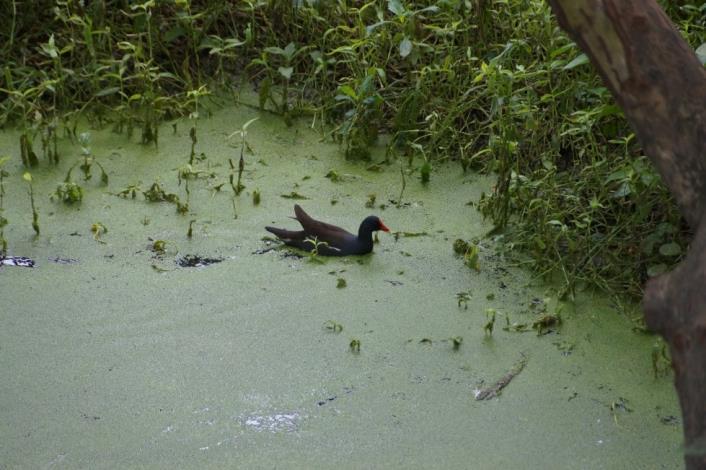 於生態池內覓食居住的紅冠水雞[另開新視窗]