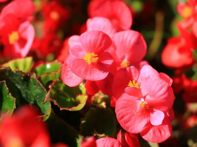「四季秋海棠」以秋末、冬和春季為主要花期