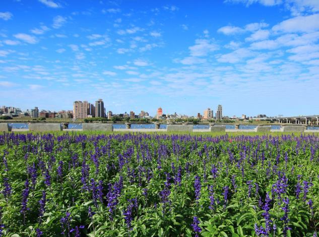 粉萼鼠尾草讓河濱如春季般美麗