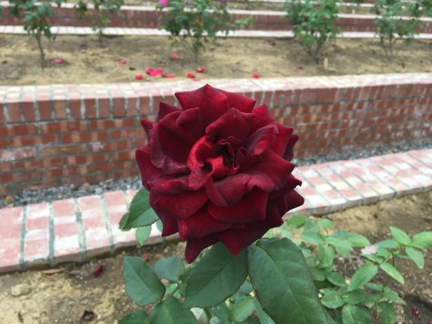 圖5. 花色暗紅近黑色的「黑衣淑女」