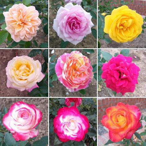 圖3. 除「春節花卉展」的蘭花外,還可至玫瑰園欣賞色彩繽紛、爭奇鬥艷的玫瑰花[開啟新連結]