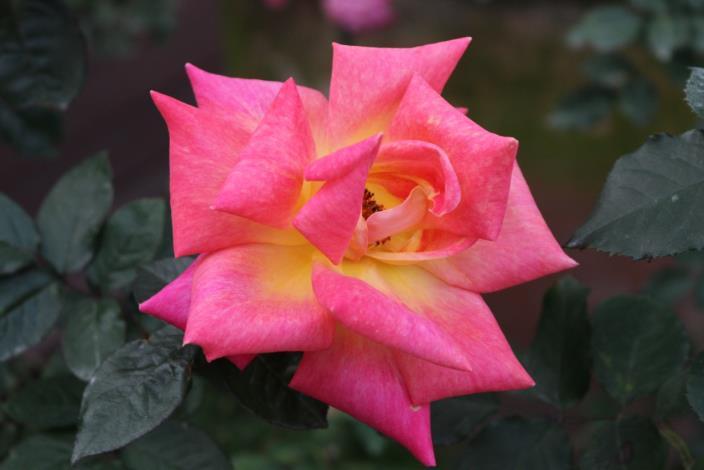 圖8、聖女,現代大花雜交茶香玫瑰;1995法國育出,花深紅瓣背乳黃、圓瓣高心、無香。[另開新視窗]