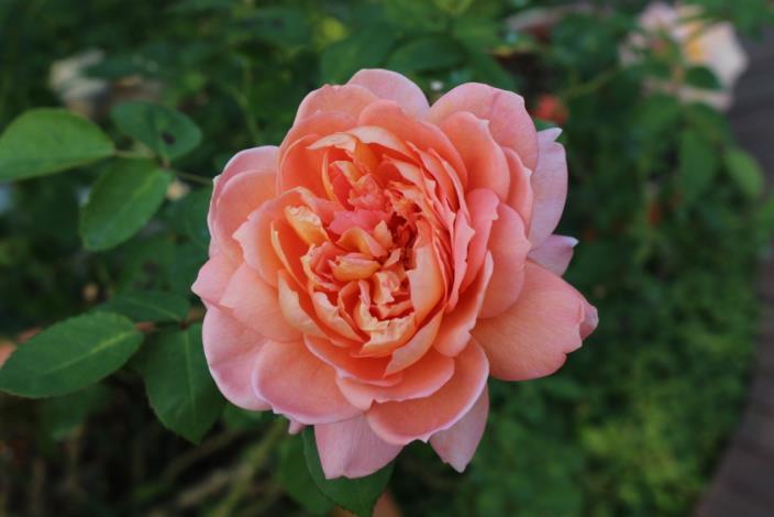 圖4、單朵大花形的玫瑰花形優美,香氣迷人,吸引人目不轉睛地凝視。[另開新視窗]