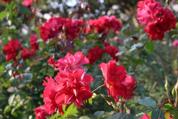 圖3、園內玫瑰姿態優美隨風搖曳,百看不厭。[另開新視窗]