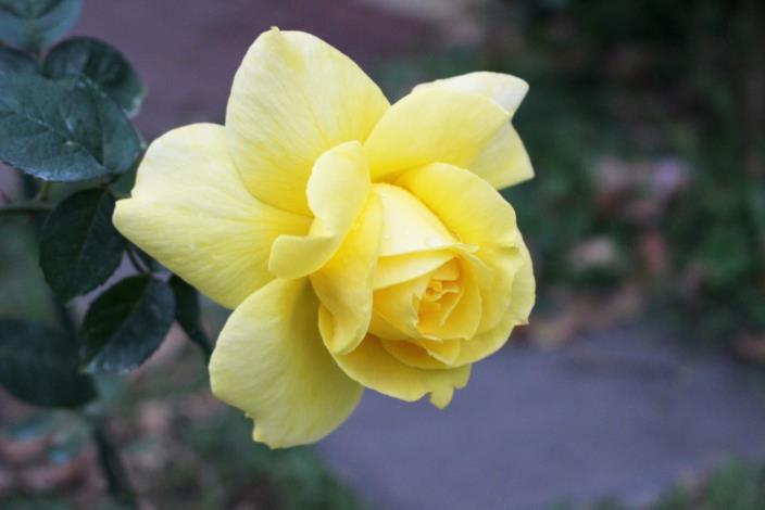 圖7、柔美之黃,現代大花雜交茶香玫瑰;金黃色、半劍瓣高心波浪型、淡香。[另開新視窗]