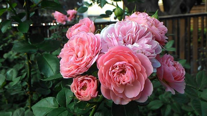 圖6、簇生的玫瑰隨風搖曳時展現不同的柔美風情[另開新視窗]