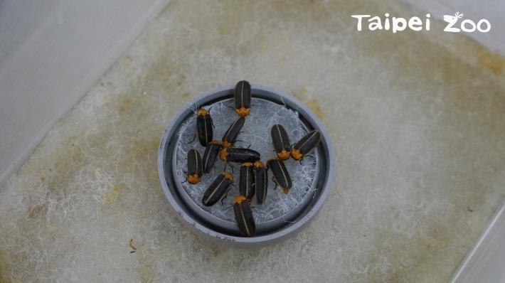 昆蟲館提供較野外更穩定的溫度、乾淨的水質和充足的食物,讓螢火蟲傳宗接代、生生不息