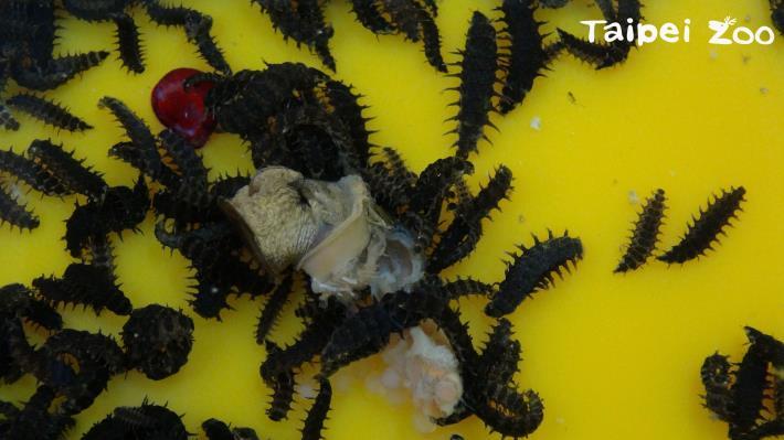 黃緣螢的幼蟲,牠們跟成蟲一樣有發光器,也會發光