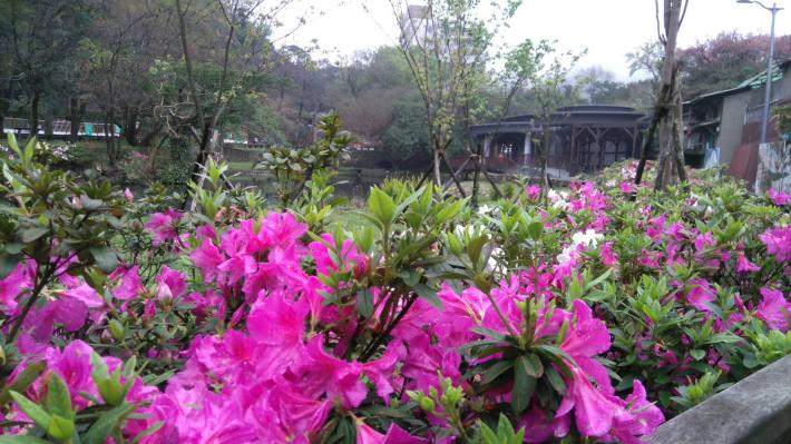 圖5 前山公園的杜鵑花
